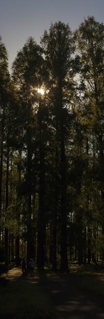 写真: メタセコイアの森