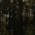 Photos: メタセコイアの森