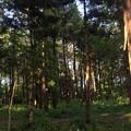 写真: 針葉樹林