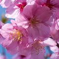 写真: 桜・・・映えて
