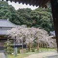宋覚寺(枝垂れ桜)
