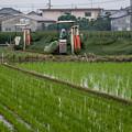 Photos: イグサ刈り