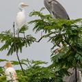 写真: 白鷺