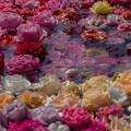 写真: 薔薇の園