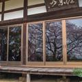 写真: 春光寺の桜