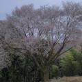 写真: 毎床の大桜