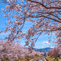 Photos: 我が町の桜