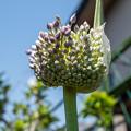Photos: ジャンボニンニクの花