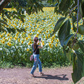 Photos: 干し柿の里にヒマワリ咲く