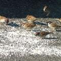 餌に群がるスズメ  1