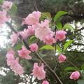 Photos: 博多区山王公園の桜 2