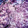 写真: 夙川の桜