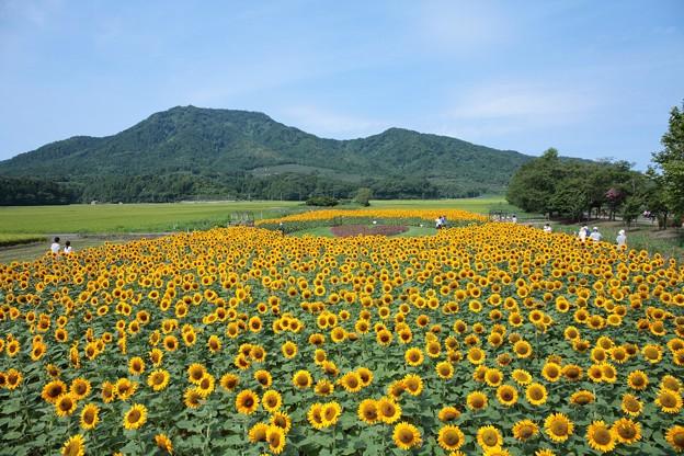 ひまわり畑と角田山