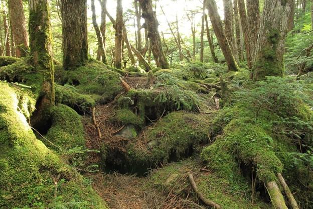 麦草峠白駒の池周辺の森1