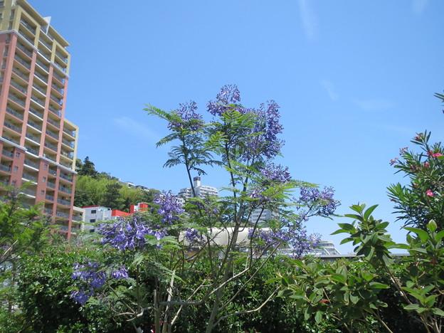 ジャガランダの花