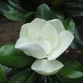 タイサンボク (泰山木)の花