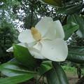 タイサンボクの花2