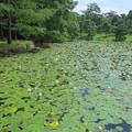 写真: スイレンの池