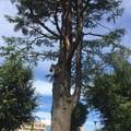 入社記念樹のヒマラヤスギ