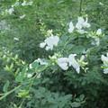 ヤマハギ(白花)