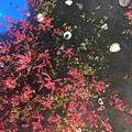 Photos: 「アッケシソウ」の名前がついた植物
