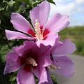 写真: 近所の花