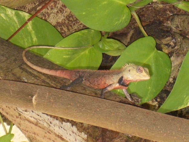 モルディブのトカゲ