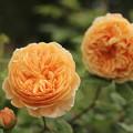 写真: バラの季節