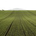 写真: 伸びる畝