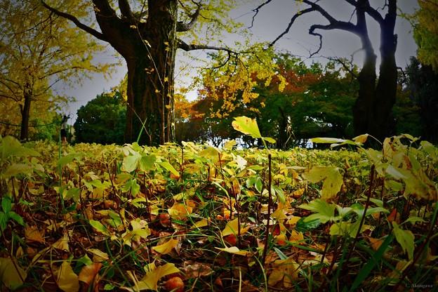 秋の昭和記念公園 -イチョウの子どもたち-