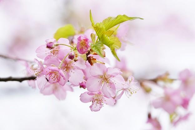 写真: 「春めき」。