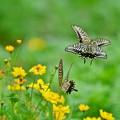 写真: 浜離宮の蝶たち *****