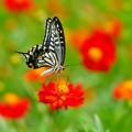 写真: 浜離宮の蝶たち ****