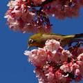 熱海桜とメジロ