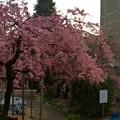 Photos: 世界平和記念聖堂 ヤエベニシダレ 広島市中区幟町 2016年3月31日