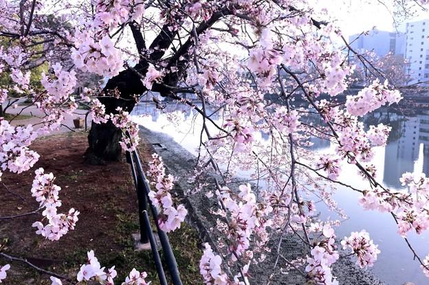 京橋川 右岸 河岸緑地 さくら 広島市中区橋本町 2016年3月31日