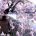 Photos: 京橋川 右岸 河岸緑地 さくら 広島市中区橋本町 2016年3月31日