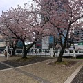猿猴橋 南詰 さくら 広島市南区的場町1丁目 2016年4月5日