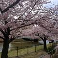 二河川公園 さくら 呉市三条3丁目 新栄橋 2016年4月5日