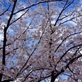 さくら 呉市警固屋1丁目 鍋山第一公園 2014年4月2日