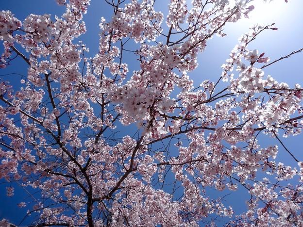 さくら cerezo 広島市南区松川町 松川公園 2015年3月30日
