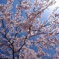 Photos: さくら cerezo 広島市南区松川町 松川公園 2015年3月30日