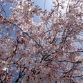 Photos: さくら cherry blossom 広島市南区松川町 松川公園 2015年3月30日