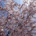 さくら cherry blossom 広島市南区松川町 松川公園 2015年3月30日