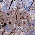 Photos: さくら sakura 広島市南区松川町 松川公園 2015年3月30日