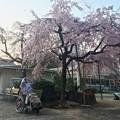 Photos: 世界平和記念聖堂 さくら まりちゃん 広島市中区幟町 2018年3月25日