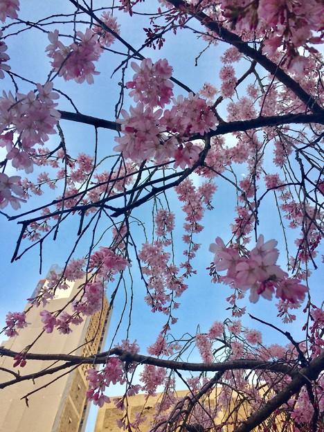 世界平和記念聖堂 さくら 広島市中区幟町 2018年3月25日