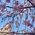 Photos: 世界平和記念聖堂 さくら 広島市中区幟町 2018年3月25日