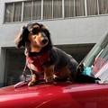 Photos: ラブこ black and tan miniature dachshund 2018年5月5日