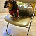 Photos: ラブこ black and tan miniature dachshund 平成30年5月23日